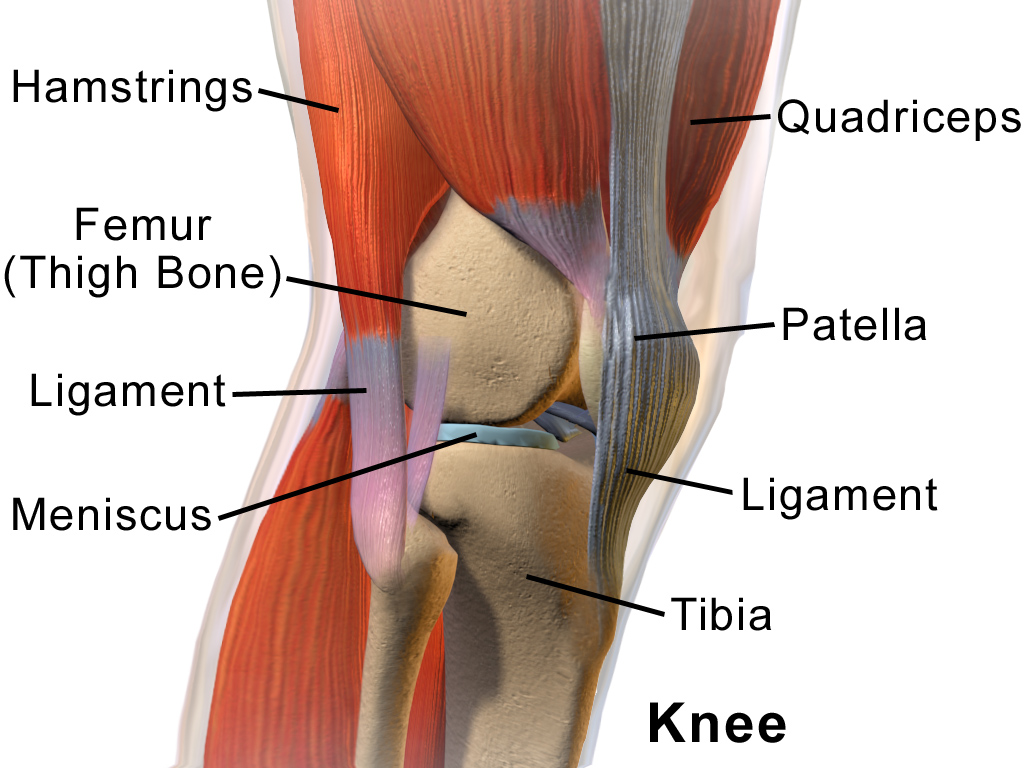 Picture of the knee anatomy with labels to explain different structures